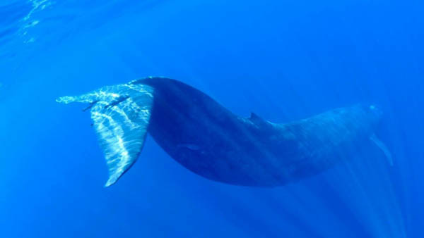 Whale Snorkeling in Trincomalee  Image
